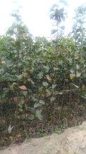 晚秋黄梨梨树苗;晚秋黄梨梨树苗多少钱一棵