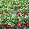 红袖添香草莓草莓苗
