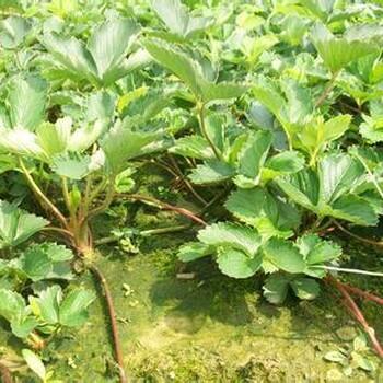 上海红袖添香草莓草莓苗种植基地