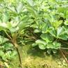 红袖添香草莓草莓苗种