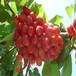 寧夏拉賓斯櫻桃樹苗多少錢一棵?6公分大櫻桃樹苗多少錢?