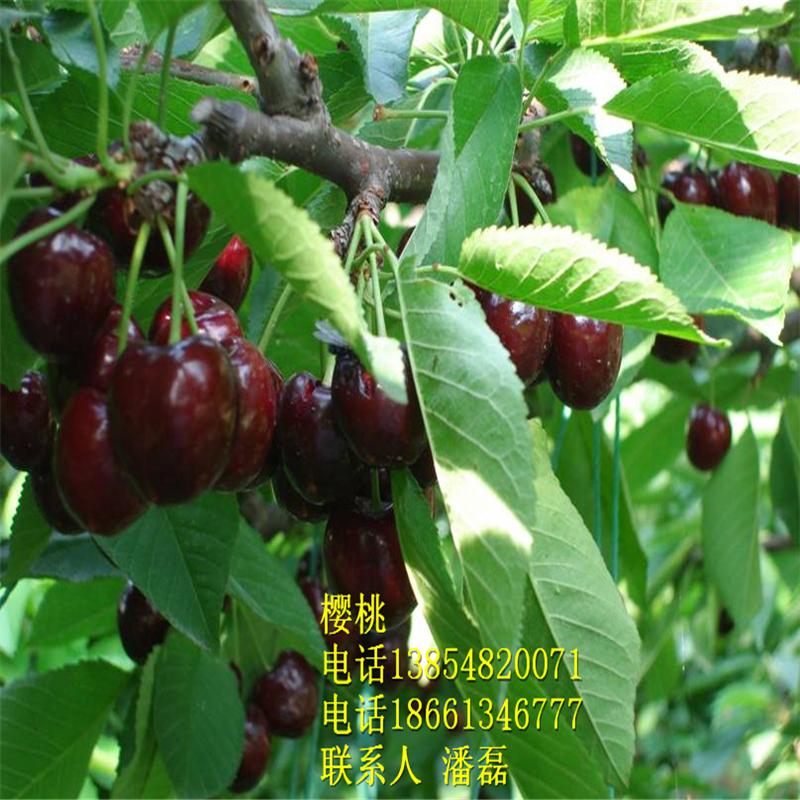 阜阳车厘子樱桃树苗价格、车厘子樱桃树苗哪里有?