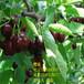 江西3公分樱桃树苗多少钱一棵?哪里有红灯樱桃树苗?