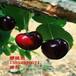 寧夏拉賓斯櫻桃樹苗多少錢一棵?大紫櫻桃樹苗