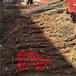 内蒙古包头挂果的猕猴桃树苗哪里有猕猴桃苗管理技术红星猕猴桃树苗