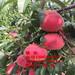油桃树苗多少钱?83黄桃树苗价格油桃树苗价格、