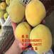 合肥锦绣黄桃树苗多少钱、哪里有新品种蟠桃树苗锦绣黄桃树苗多少钱、