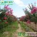 供应速生玫红紫薇长势快花量大百日红紫薇景观树桩景盆景制作