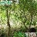 哪家美国变色龙柳正宗江西种植美国变色龙柳基地冬季园林景观树南北种植