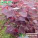 加拿大红叶紫荆1-10公分观花观叶三季园林景观树绿化工程苗