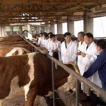 架子牛价格-犇驰肉牛养殖场-架子牛价格超低出售图片