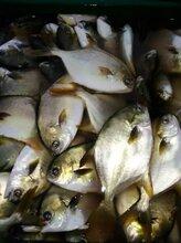 自家深海网箱养殖金鲳鱼图片