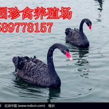 黑天鹅的价格是多少哪里有卖黑天鹅的图片