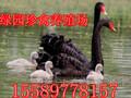 什么地方有出售种黑天鹅的在哪里可以买到黑天鹅图片