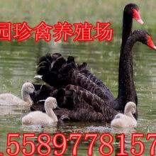 什么地方有卖黑天鹅的哪里卖的黑天鹅苗价格便宜图片