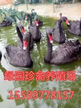 黑天鹅什么地方有卖的什么地方有供应黑天鹅的图片