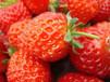 草莓速溶粉草莓果汁粉100%纯天然果汁粉固体饮料斯诺特生物