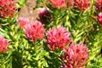 优质红景天提取物红景天甙3%供应红景天苷1%-5%