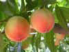 100%水蜜桃粉水蜜桃果粉水蜜桃提取物质优价廉