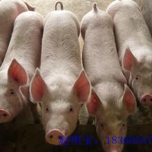 仔猪批发,仔猪批发价格,仔猪批发市场图片