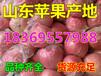 山东省临沂市纸袋红将军苹果价格分析