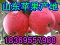 山东临沂苹果价格查询图片