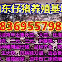 江西抚州大白仔猪价格行情图片