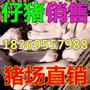 贵州六盘水黑猪苗批发市场图片