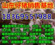 东港杜洛克仔猪价格行情分析图片