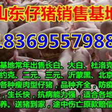 云南红河今年仔猪销售价格图片