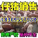 广东茂名今日黑仔猪价格行情