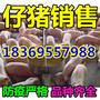 永州15公斤仔猪价格行情分析图片