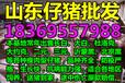 广东梅州30斤仔猪养殖基地仔猪价格