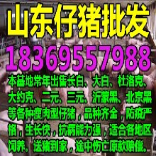 湖南岳阳猪苗批发图片