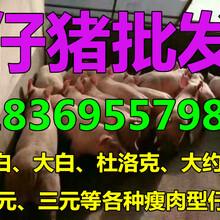 广东清远猪苗销售图片