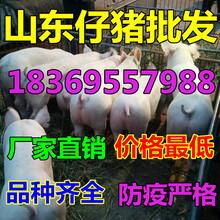 山东淄博黑仔猪价格行情分析图片