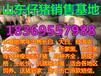 广东珠海今天苗猪价格是多少