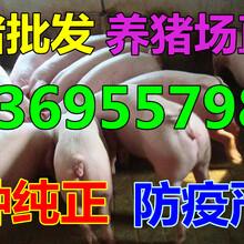青海黄南仔猪价格行情图片