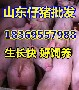 山西朔州大白仔猪批发市场图片
