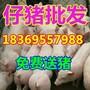 广州今日仔猪销售价格图片