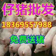 陕西渭南大约克仔猪格图片