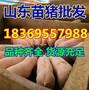 河北秦皇岛小猪崽批发市场图片