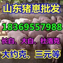 德阳15公斤仔猪批发市场图片