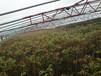 红油香椿苗哪里有,泰安香椿苗苗圃