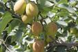 2公分3公分梨树4公分梨树价格