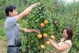 黄金梨树苗价格、黄金梨树苗哪里有