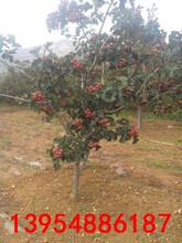 重庆2、3、4、5公分的山楂树,山楂树苗带土球价格