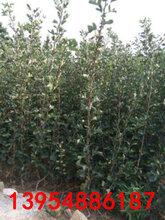 新品种山楂树苗哪里有卖的山楂树苗基地