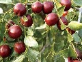 枣树苗哪里便宜,低价枣树苗出售、批发图片