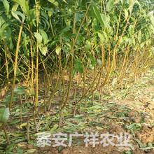 2年生桃树苗,哪里能买到2年桃树苗,嫁接桃树苗品种